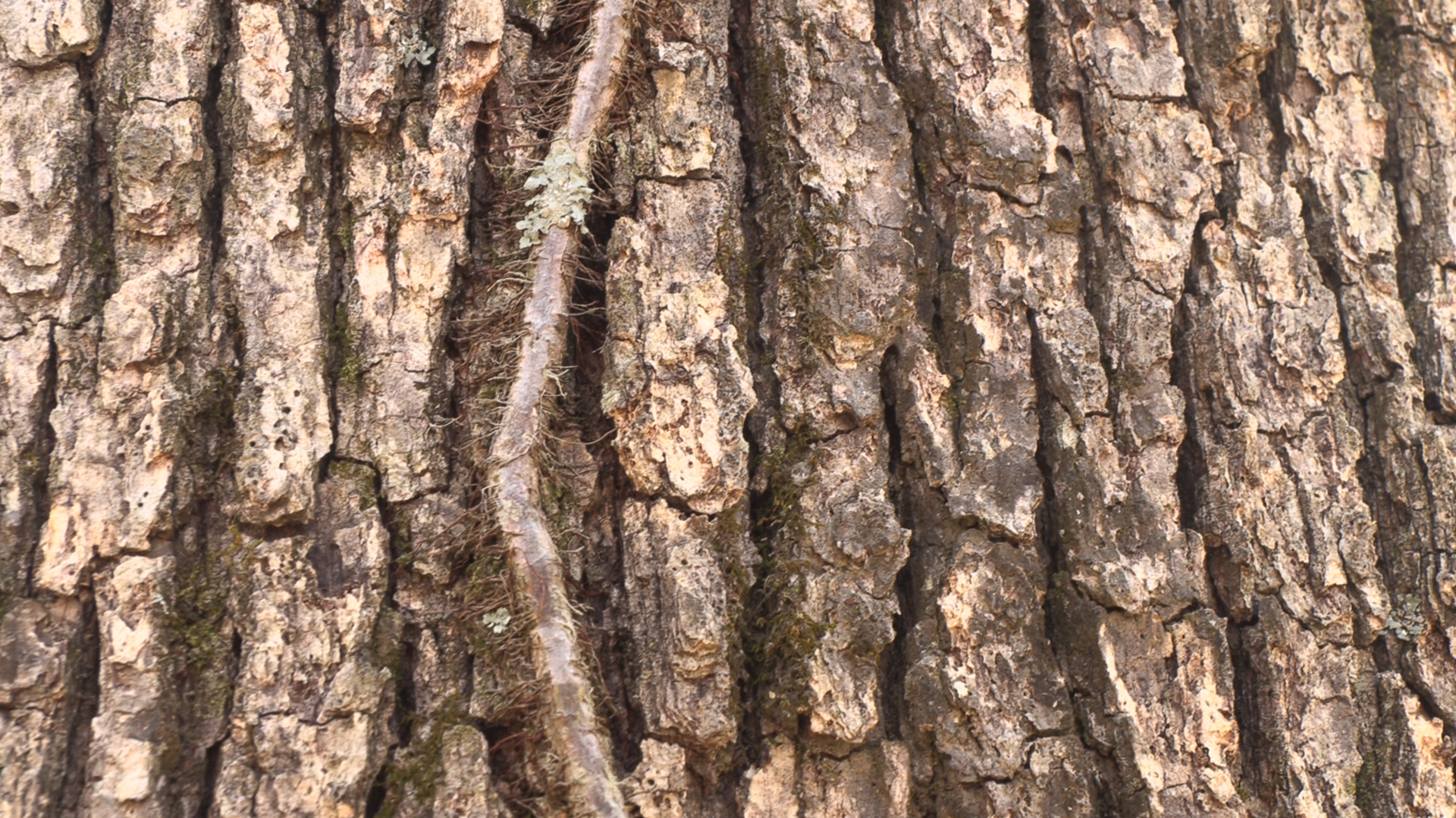 On this picture you can see the bark of an oak tree.
