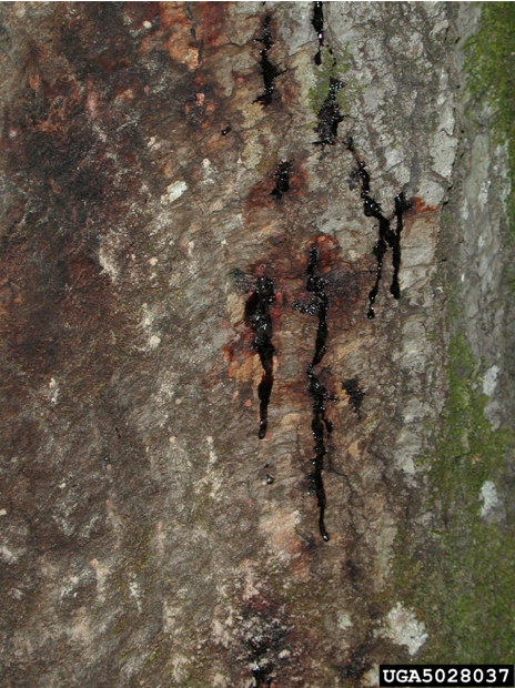 This is a photo of an oak tree infected by sudden oak death.