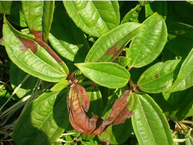 This is a photo of an oak leaf infected with sudden oak death.
