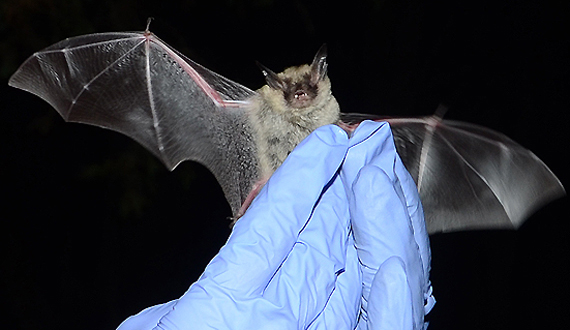 This is a photo of the Northern long-eared bat.