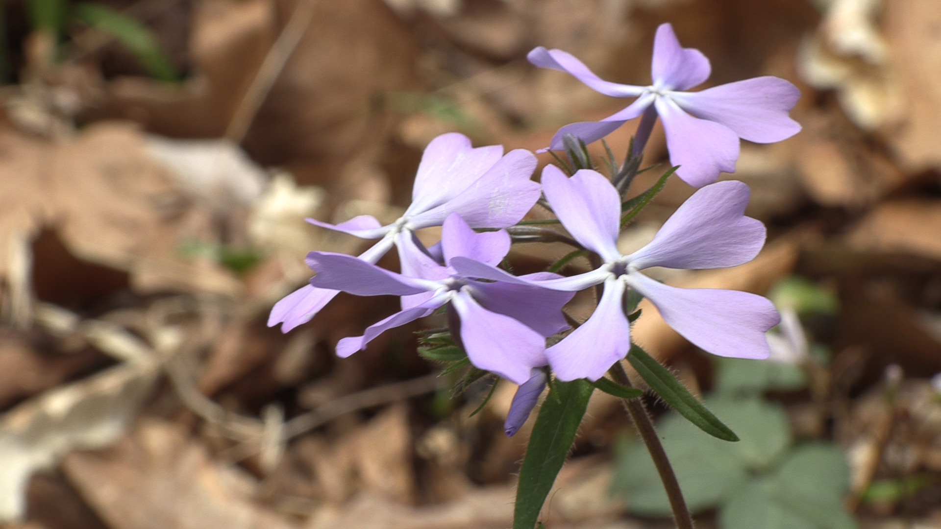 On this picture you can see a violet-colored cleft phlox flower.