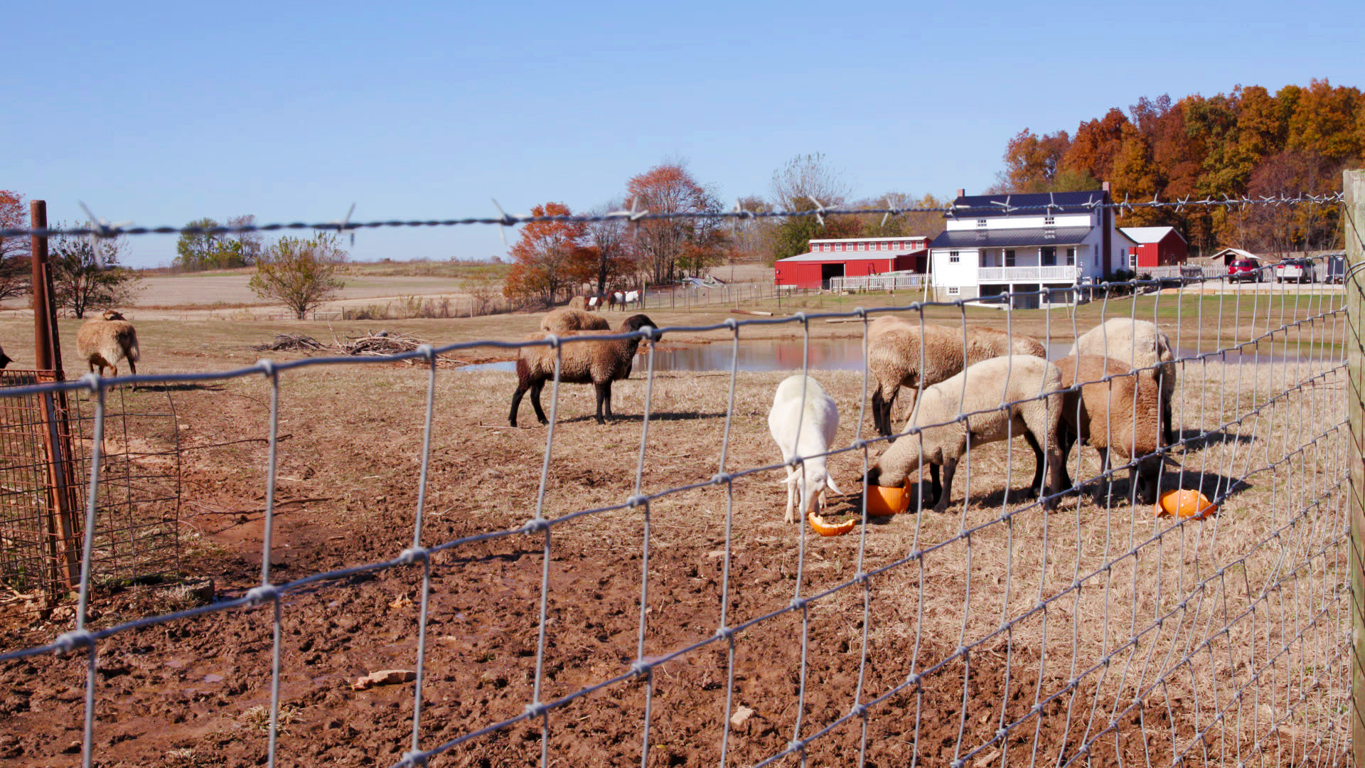 Hall's sheep in their pen.